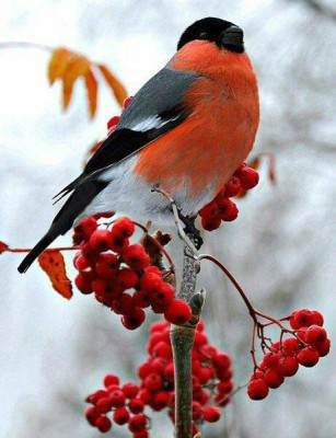 Bullfinch inspiration